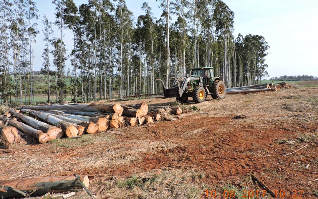 Exploração de povoamento de Eucalyptus spp. em Augusto Pestana